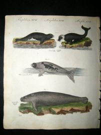Bertuch 1804 Hand Colored Print. Seals & Walrusses